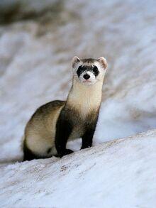 Black-footed-ferret 465 600x450.jpg