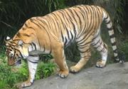 Cincinnati Zoo Tiger.png