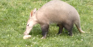 Columbus Zoo Aardvark
