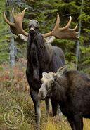 Eastern Moose and Moosette