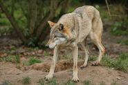 Female Eurasian Wolf