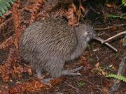 Kiwi, Southern Brown.jpg
