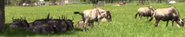 Lion Country Safari Wildebeest