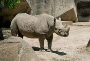 Photo-detail-asia-black-rhino