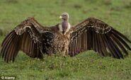 Rüppell's Vulture (Female)
