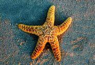 Starfish, Common