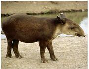 Tapirus bairdii.jpg