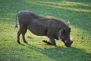 Warthog, Southern.jpg