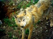 Wolf, Himalayan