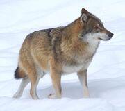 Wolf, voor de natuur, Saxifraga - Jan Nijendijk.5097.jpg