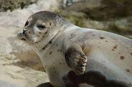 Northern Bay Seal