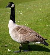 Northern Goose