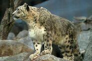 Triguniasnowleopard
