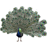 Peacock Pet inventory icon.png