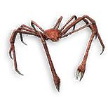 Craicic Spider Crab