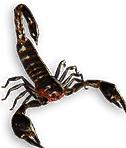 Fenumal Scorpion