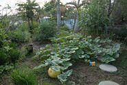 Terrace garden with fatty squash