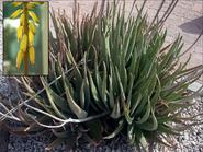 260px-Aloe vera flower inset