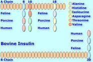 Bovineinsulin