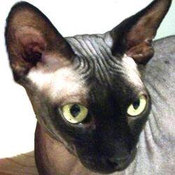 Feline ketoacidosis cases