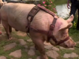 Leroy the Pig