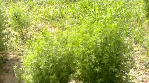 Cultivation of Artemisia annua - Affordable antimalarials