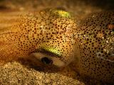 Friday cephalopod