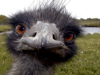 Emu.jpg