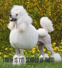 Poodlephobia.jpg