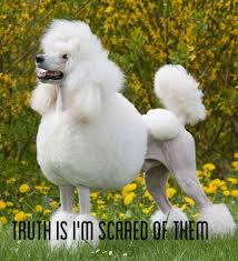 Poodlephobia
