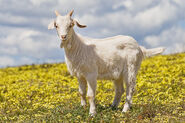 1200px-Domestic goat kid in capeweed