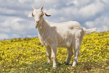 1200px-Domestic goat kid in capeweed.jpg