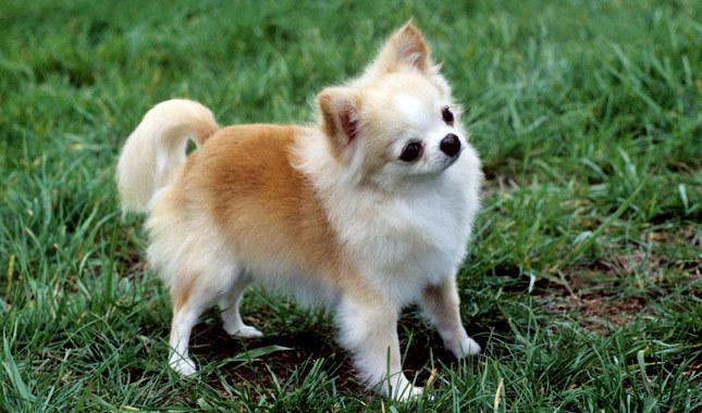 Chihuahuaphobia