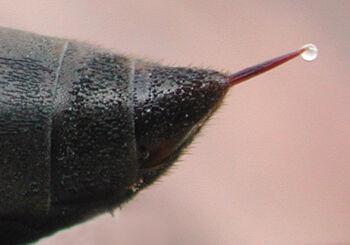 Wasp Stinger.jpg