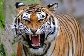Tiger.jpeg