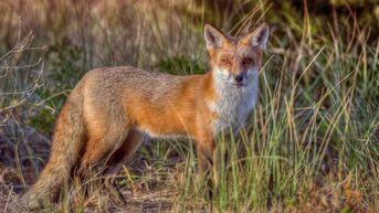 Red-fox-new-jersey-gty-jt-191119 hpMain 16x9 992.jpg