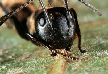 Zombie Ants.jpg