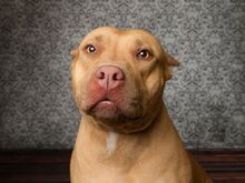 Pit-bull-dog-breed-picture-1.jpg