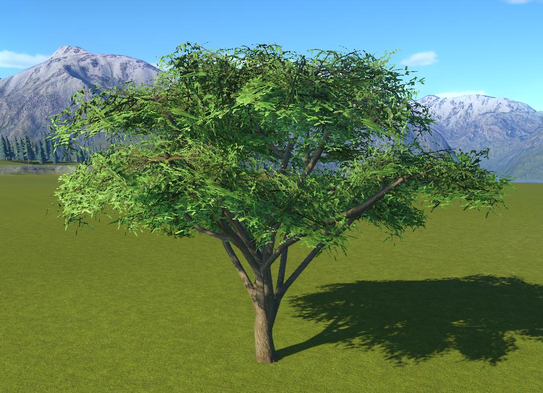 Acacia Tree 3