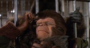 Milo is strangled by the gorilla