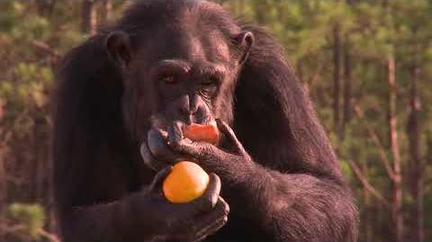 Ape_Biology_I_Chimpanzee