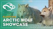 Planet Zoo Arctic Wolf Showcase