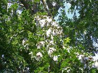Populus-maximowiczii.jpg