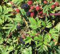 1024px-Rubus laciniatus.jpg