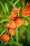 PrunusPersicaPeach.jpg