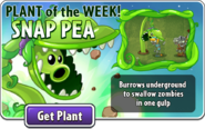 Plant of the Week Snap Pea 2
