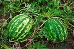 Watermelongrowing.jpg