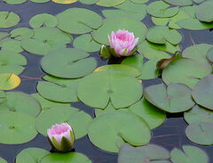 Lilly pad pond flower stock by Enchantedgal Stock.jpg