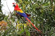 1024px-Scarlet-Macaw-cr.jpg