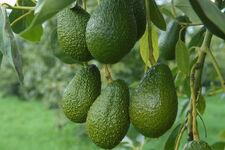 Avocados.jpg